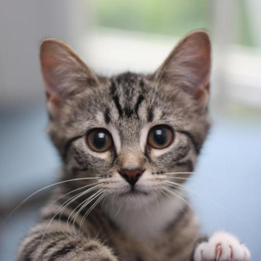 大眼萌物 猫咪 灰色