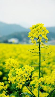 黃花 特寫 植物