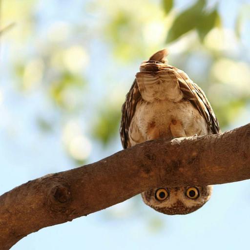猫头鹰 眼睛 树枝