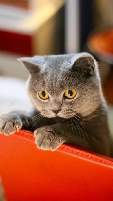 猫 可爱 眼睛 红色 椅子 爪子 宠物 喵星人