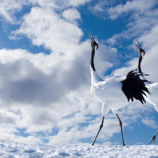 仙鹤 白色 蓝天 白云 成双成对 雪地 冬天