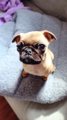 可爱的小巴哥犬 狗狗 宠物