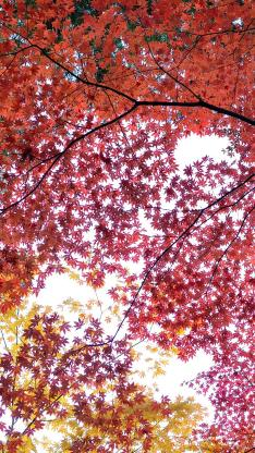 楓葉 樹林 紅色 植物