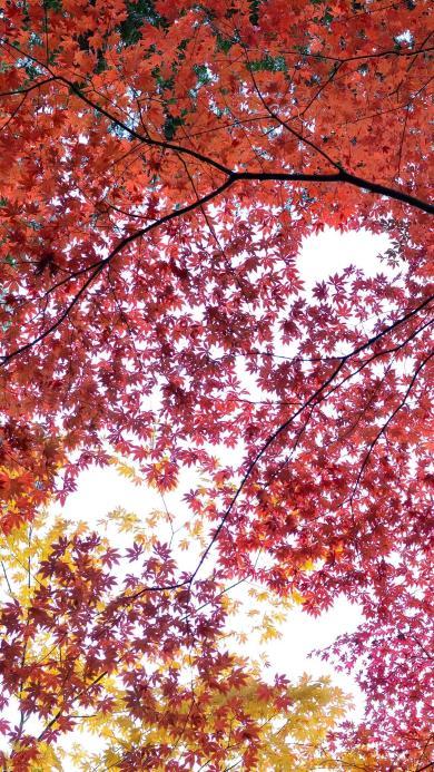 枫叶 树林 红色 植物