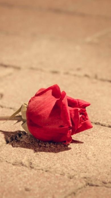 玫瑰 花朵 爱情 红色 浪漫