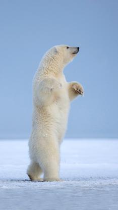 北极熊 南极 雪地 站立 动物 行走 白色