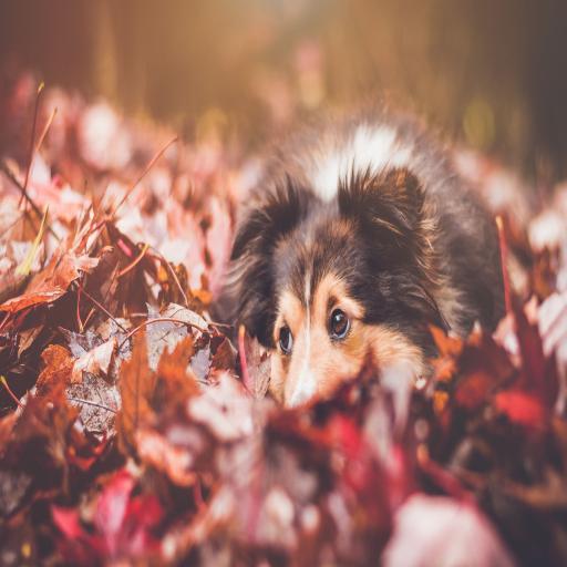 躺在落叶上的狗