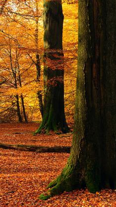 樹林 樹木 秋天 楓葉