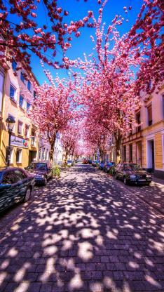唯美 粉 街道 浪漫 花季