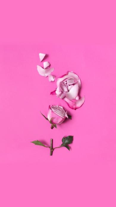 玫瑰 粉色 鲜花 花瓣