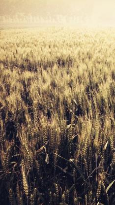 稻田 麦田 麦地 麦子 小麦
