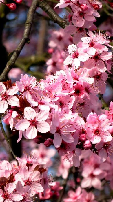 樱花 粉色 鲜花 春天 植物 浪漫