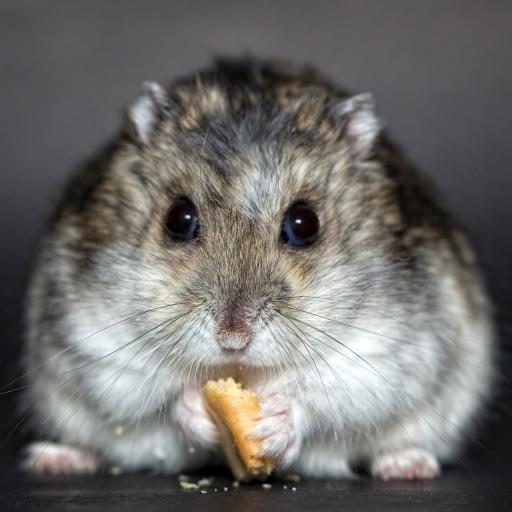 鼠 侏儒仓鼠
