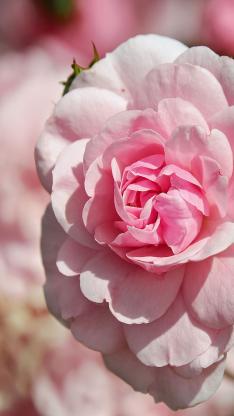 玫瑰花 鲜花 粉红色 夏季