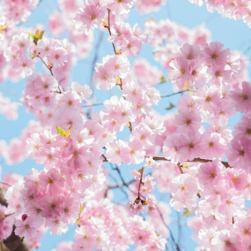 樱花 粉色 春天 浪漫 植物 鲜花