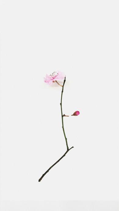鲜花 粉色 枝条 白色
