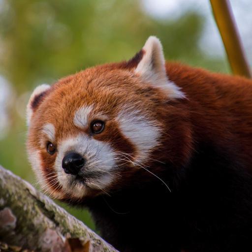 树枝上的小棕熊 可爱