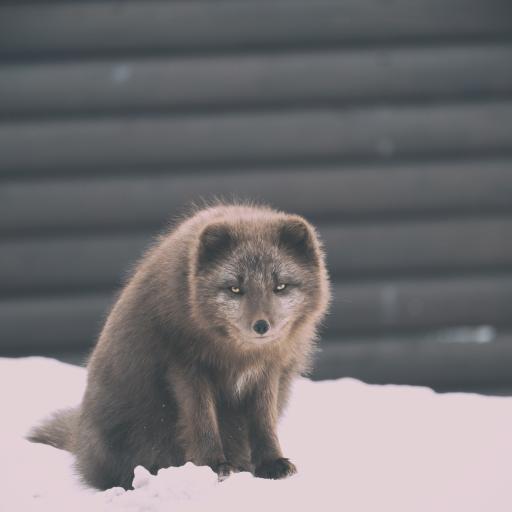 雪地 狐狸 野外 皮毛 灰褐