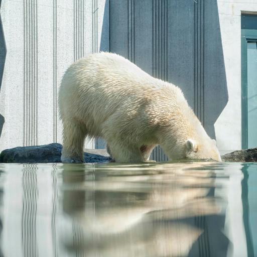 喝水的大北极熊 白色