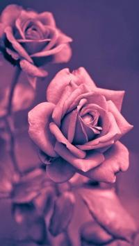 玫瑰 花朵 鲜花 爱情