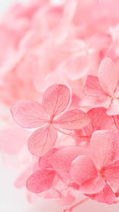 粉色 叶脉 叶子 绣球 干花 花卉