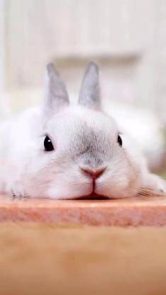 乖巧可爱的小兔子 胖嘟嘟