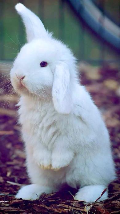 竖着耳朵的小白兔