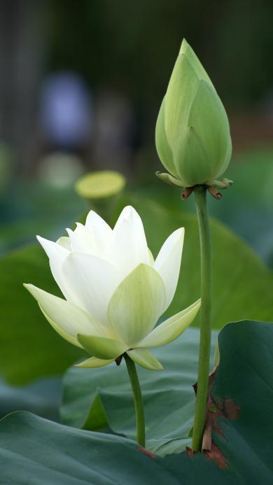 荷花 鲜花 绿色 夏天 淡雅