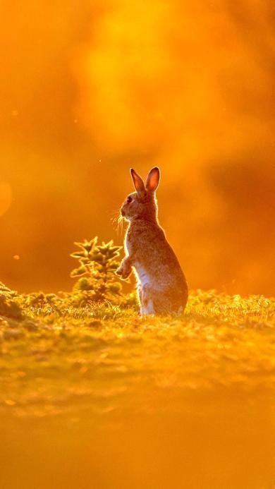 可爱 兔子 站立 黄昏
