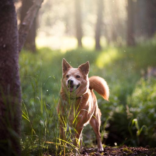 树林里的大黄狗 可爱