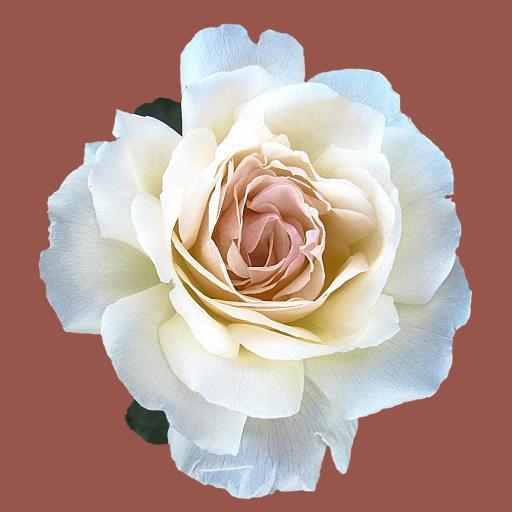 棕色背景 手绘白玫瑰 纯洁