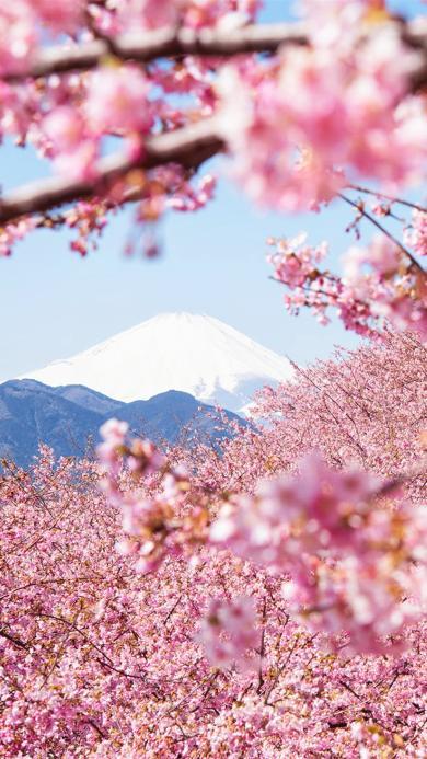 樱花 富士山 雪山 花朵