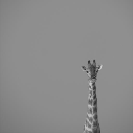 长颈鹿 灰白 动物