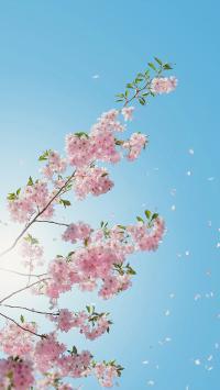 鲜花 浪漫 蓝天 粉色 春天