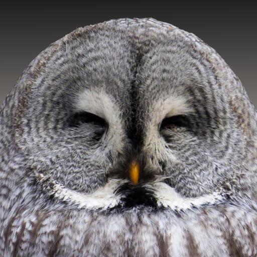 动物 猫头鹰 雕鸮 智慧 羽毛 鸟