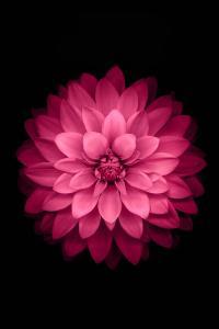 绽放 鲜花 玫红 盛开 黑色