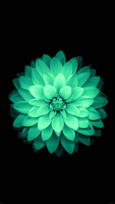 绽放 鲜花 绿色 盛开 黑色