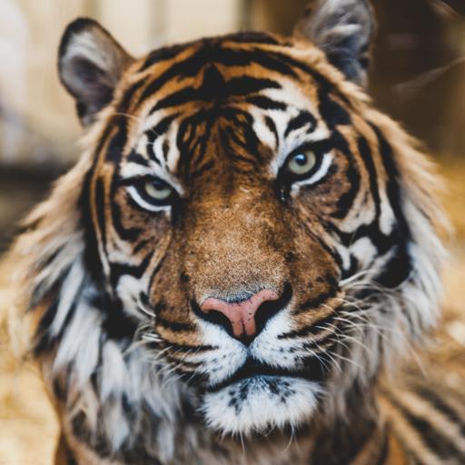 老虎 林中之王 食肉性动物 危险 毛发