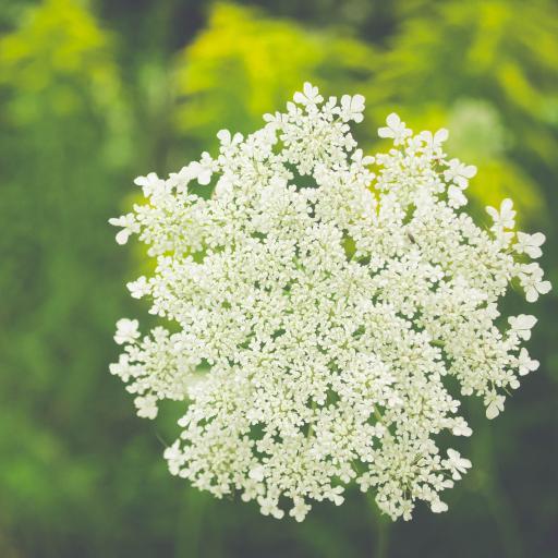 鲜花 白色小花 野花