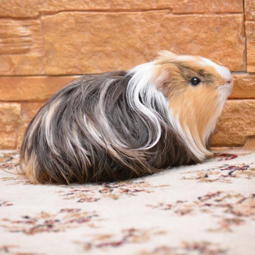 缎毛喜乐蒂天竺鼠 宠物 动物 长毛