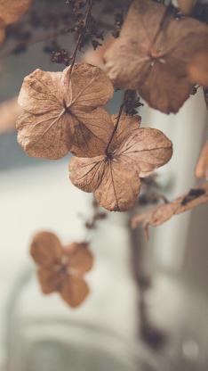 枯萎 植物 四叶草 幸运草