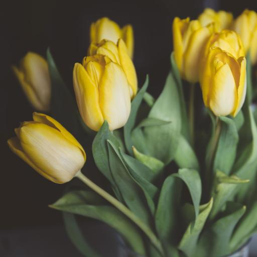 鲜花 郁金香 黄色 淡雅