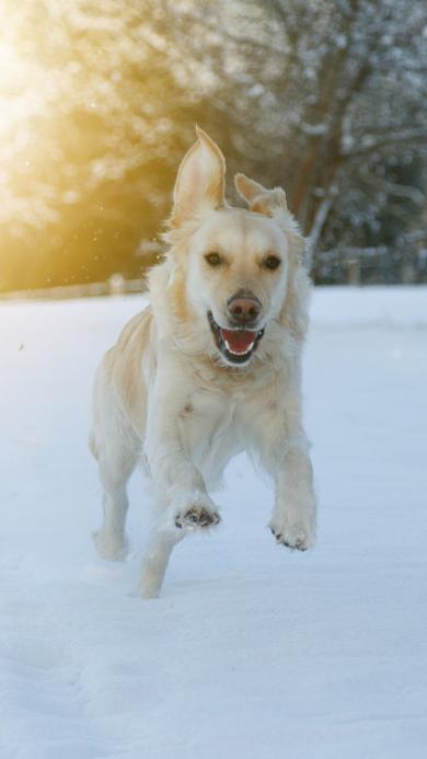 雪地 阳光 奔跑的金毛犬