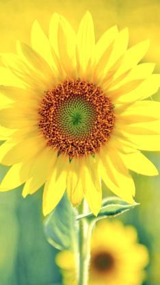 唯美开放的向日葵花