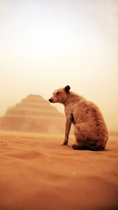 沙漠 豺狼 动物 黄色