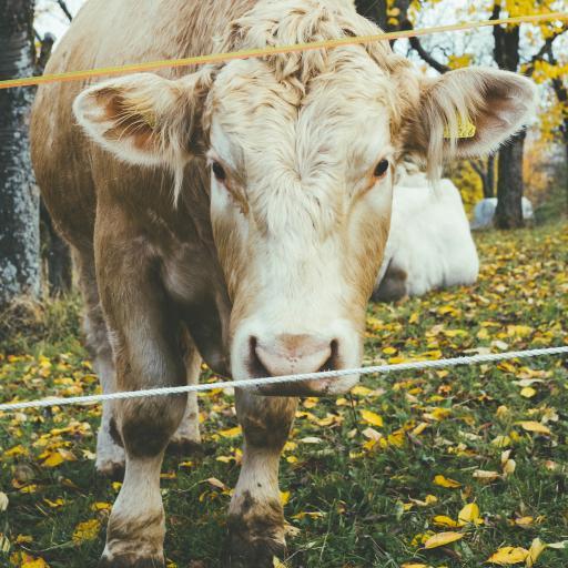 牧场 黄牛 长毛 呆萌