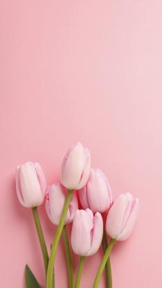 郁金香 植物 粉色 花朵 简约
