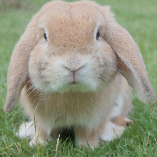 兔子 肥胖 草地 户外 长耳朵