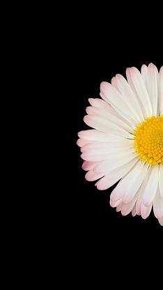 雏菊 花 自然 植物 白 盛开 开花 花瓣