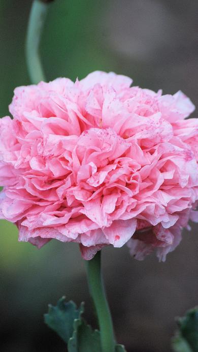 鲜花 粉色  植物花 植物